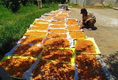 برگه زردالو یکی از محصولات منطقه ماهنشان