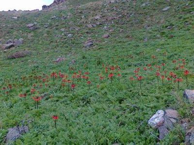 لاله های واژگون روستای قوزلو