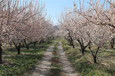 شکوفه های درختان زردآلو در ماهنشان