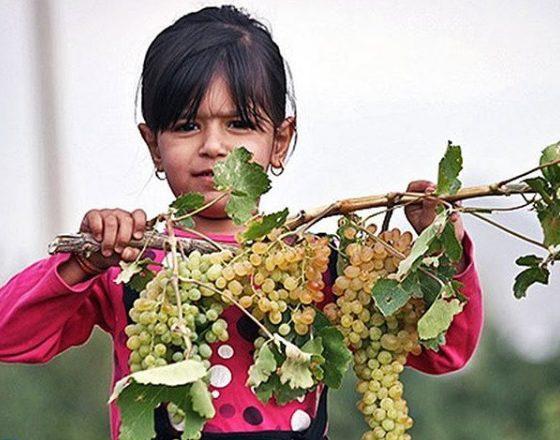 انگور یکی از محصولات روستای درسجین